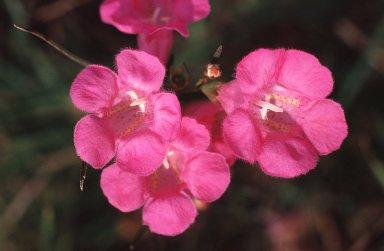 Agalinis fasciculata (Elliott) Raf.