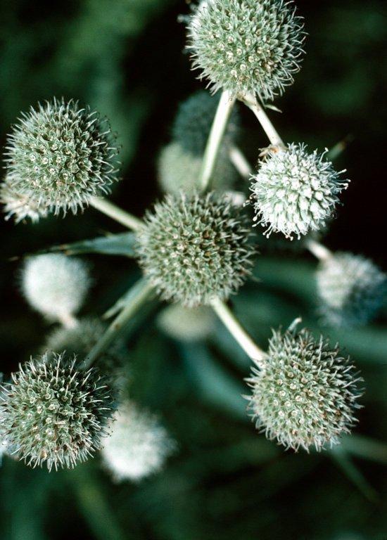 Eryngium yuccifolium Michx.