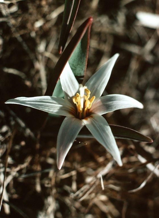 Erythronium mesochoreum Knerr