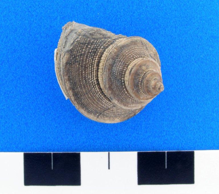 Phanerotrema (q) welleri (Newell)