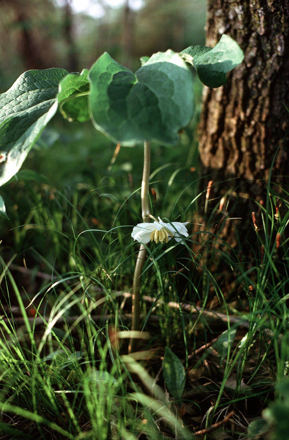 Podophyllum peltatum L.