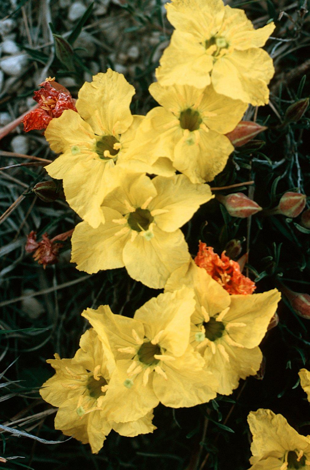Calylophus lavandulifolius