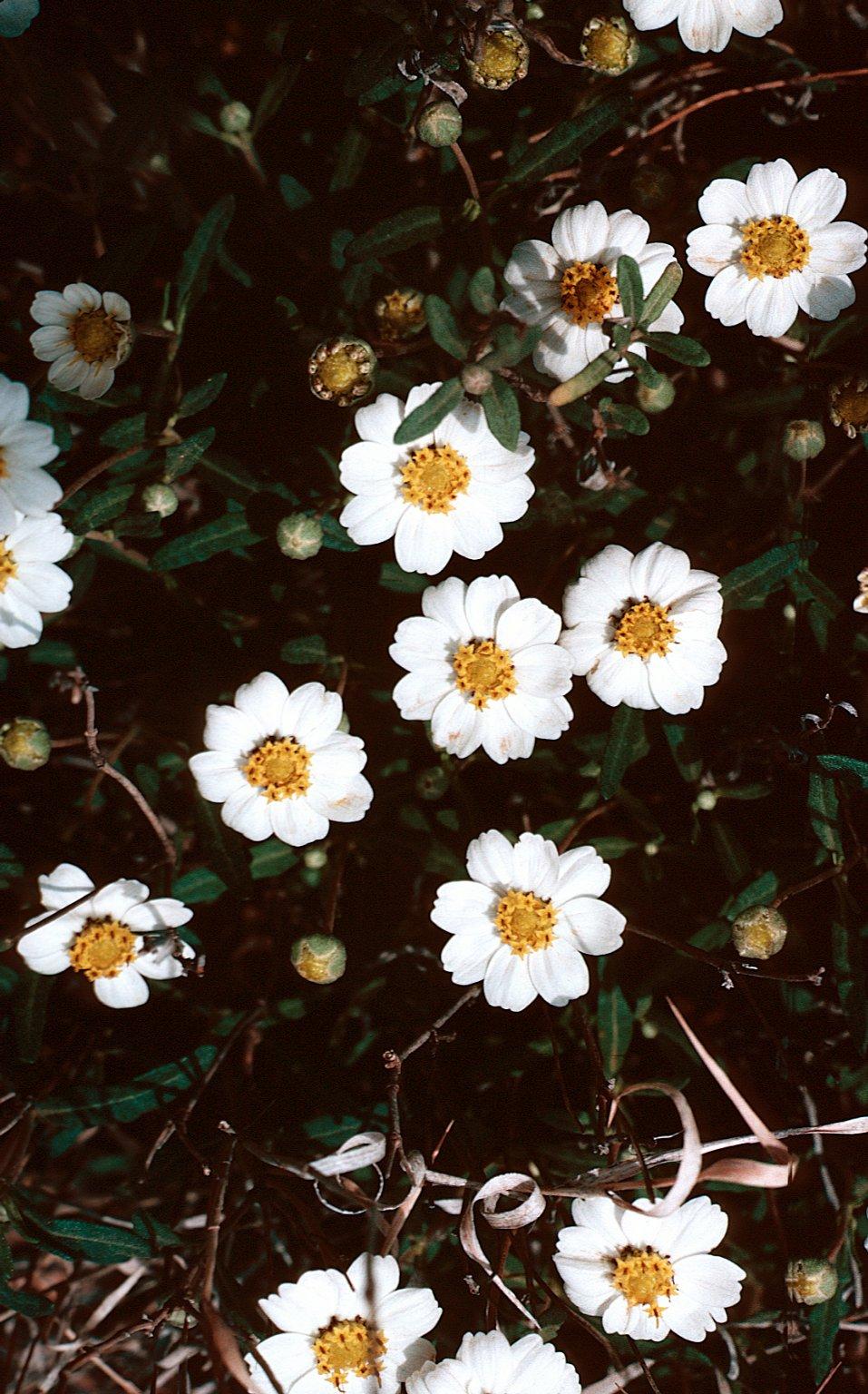 Melampodium leucanthum Torr. & A. Gray