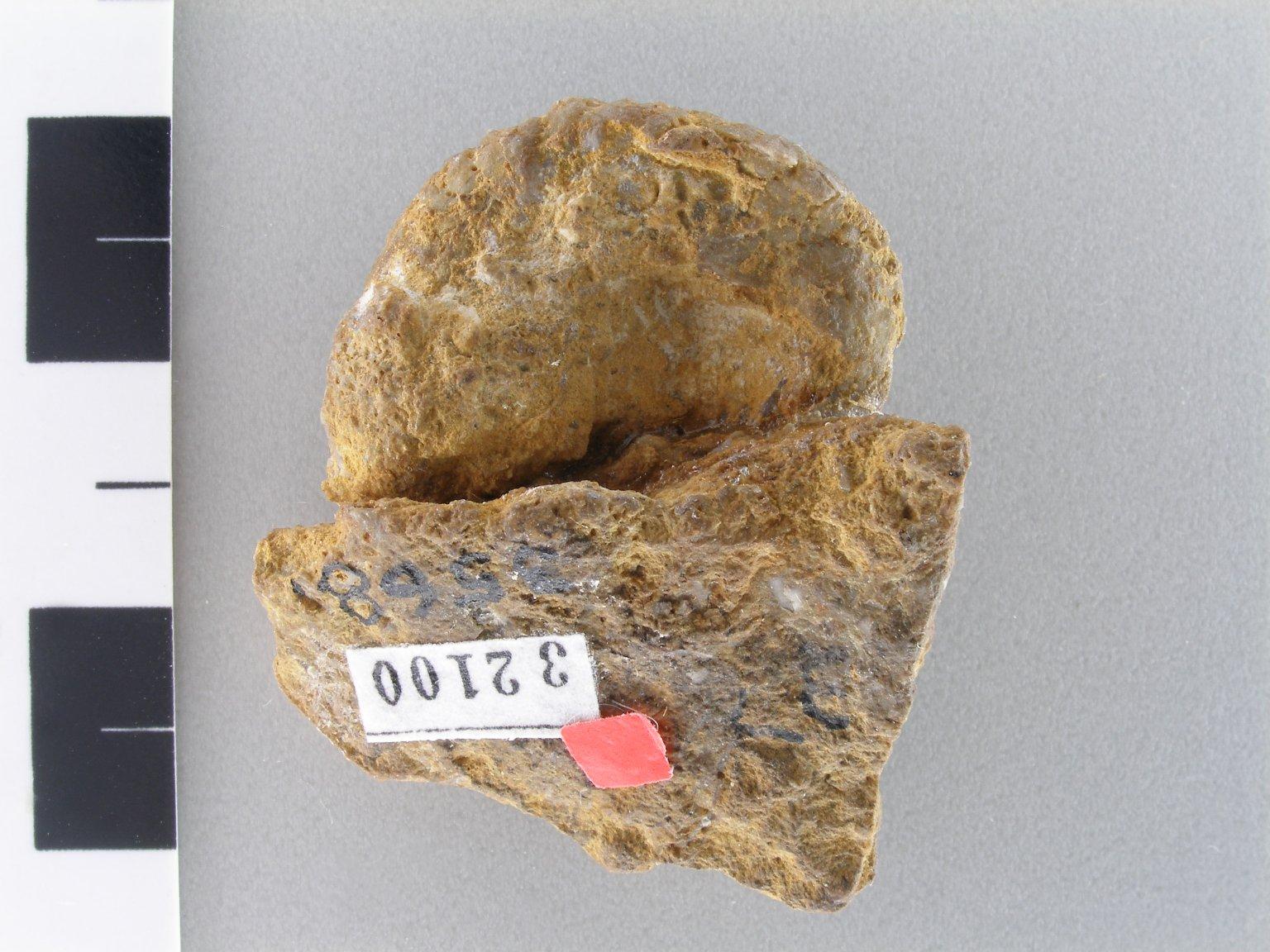 Oligoporus (q) minutus (Beede 1899)