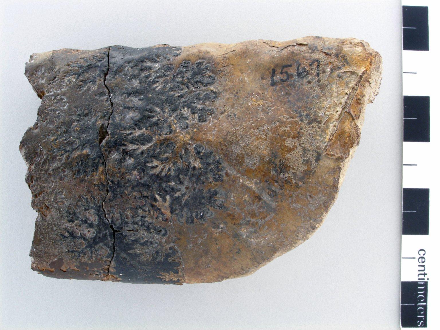 Baculites compressus var. corrugatus (Elias, n. var.)